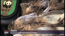 Agrigento.Una giovane aquila di Bonelli uccisa a fucilate