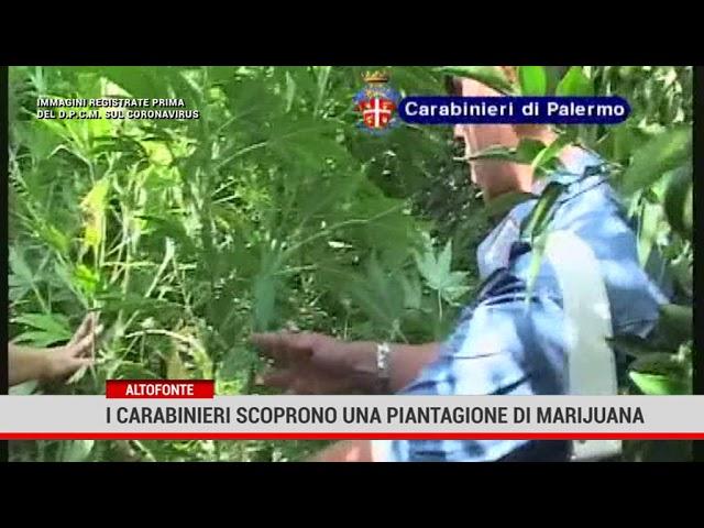 Altofonte. I carabinieri scoprono una piantagione di marijuana