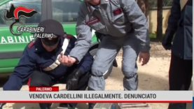 Palermo. Vendeva cardellini illegalmente. Denunciato